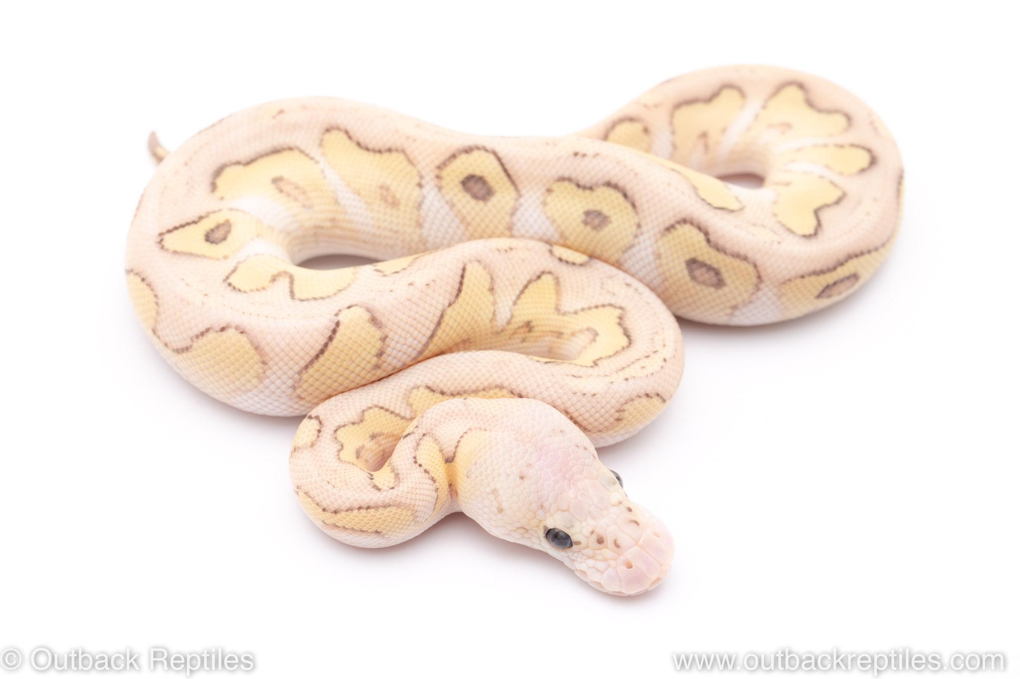 Pastel Lesser clown ball python for sale
