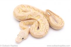pastel lesser clown ball python for sale