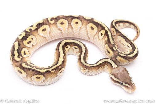 pastel lesser cypress ball python for sale