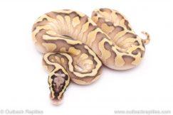 pastel lesser enchi het clown ball python for sale