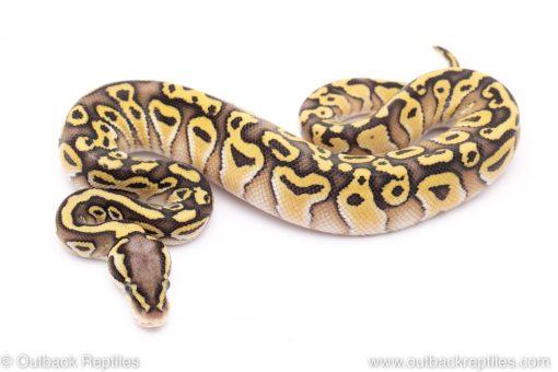 Pastel lesser het clown ball python for sale