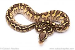 Pastel butter sable yellowbelly ball python for sale