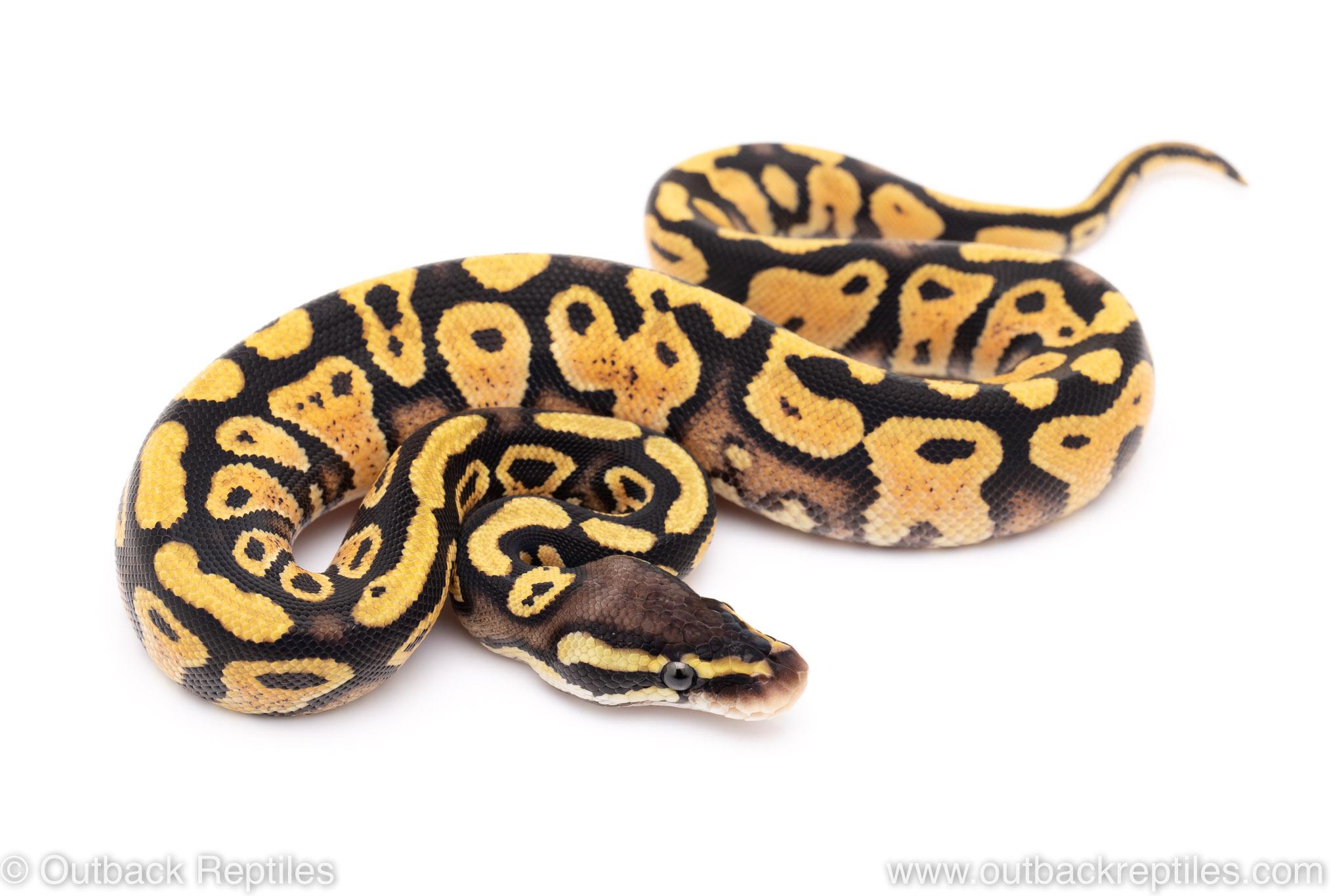Pastel yellowbelly orange dream ball python for sale