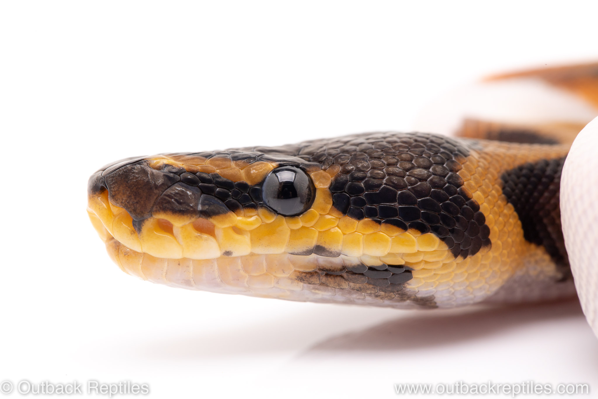 pied het VPI Axanthic ball python for sale
