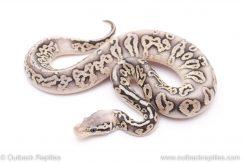 silver streak het clown ball python for sale