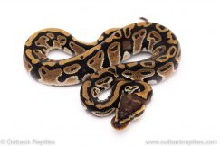 Special het Clown ball python for sale