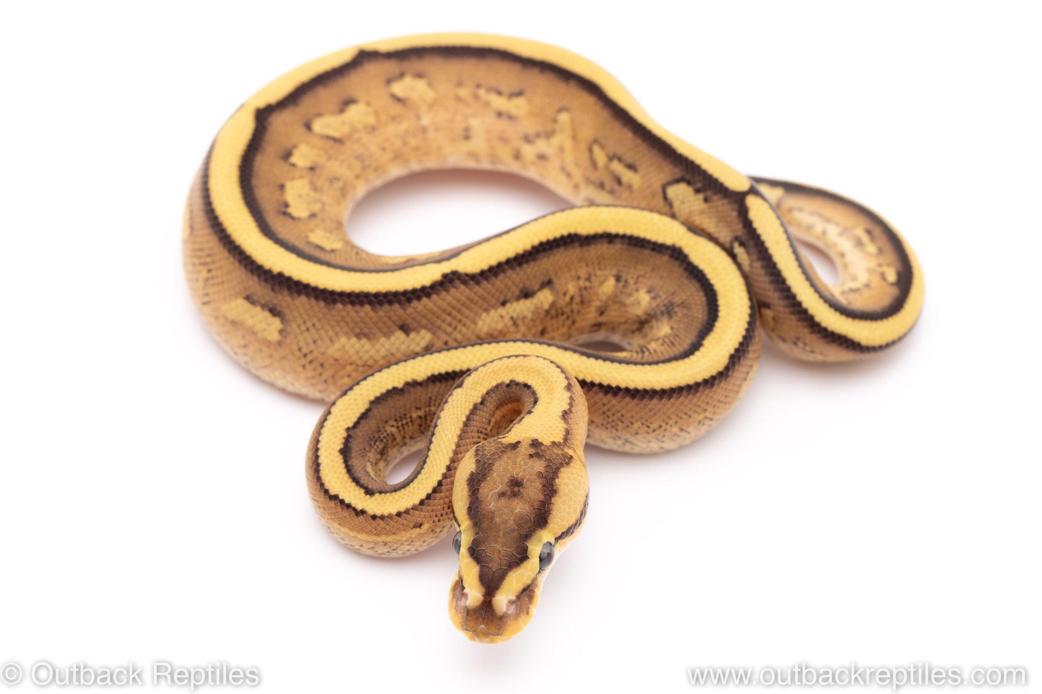 Super Stripe het VPI Axanthic ball python for sale