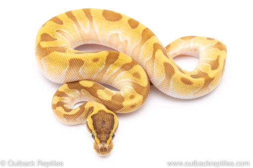 Super Enchi butter ball python for sale