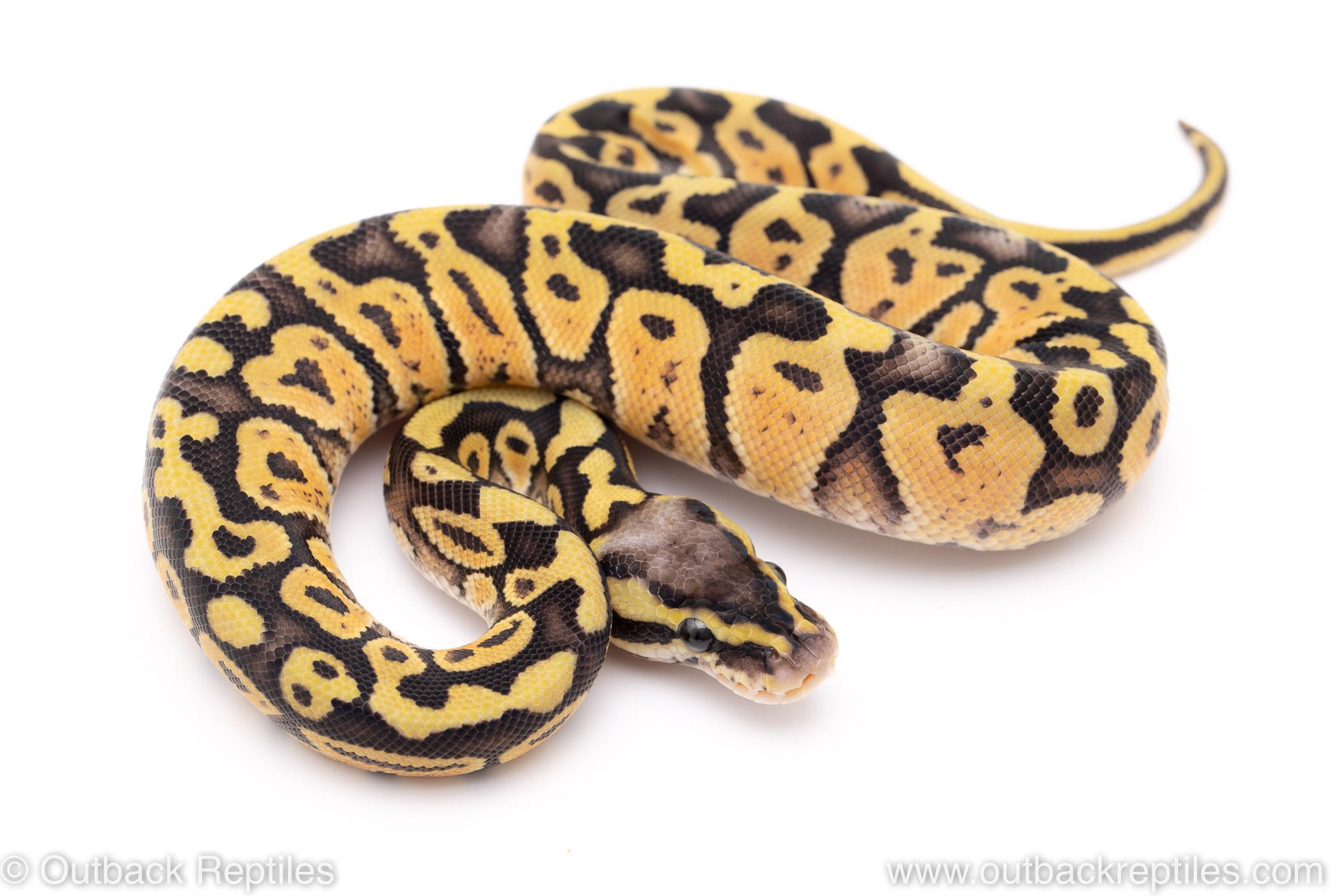 Super pastel lace ball python for sale
