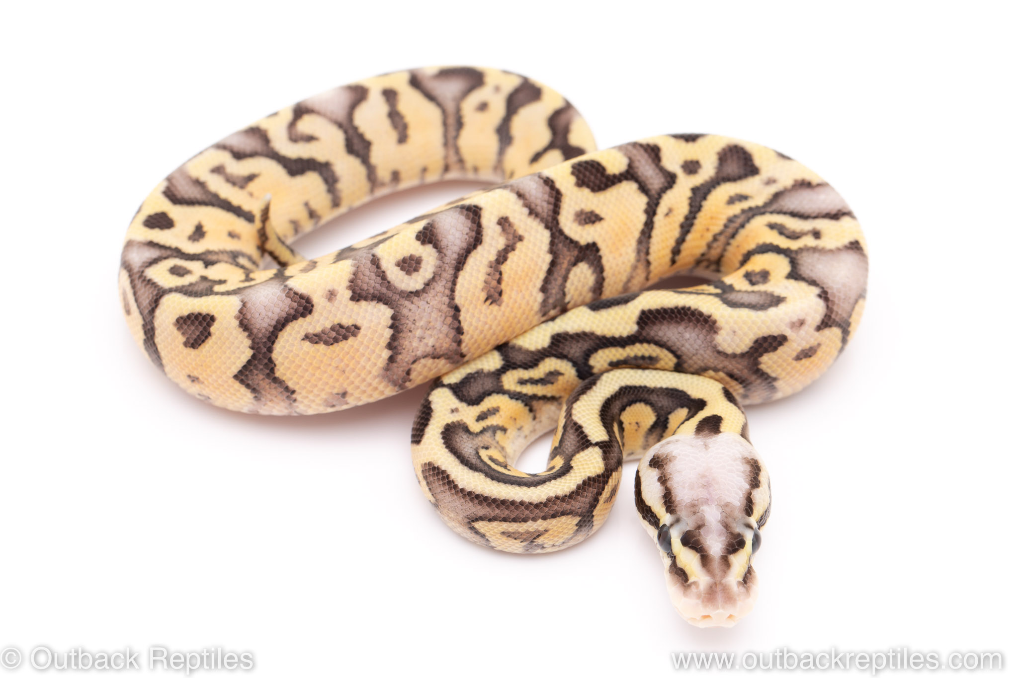 super fly ball python for sale