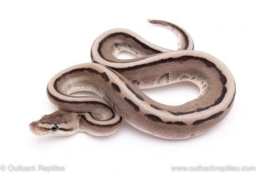 VPI Axanthic G-stripe ball python for sale