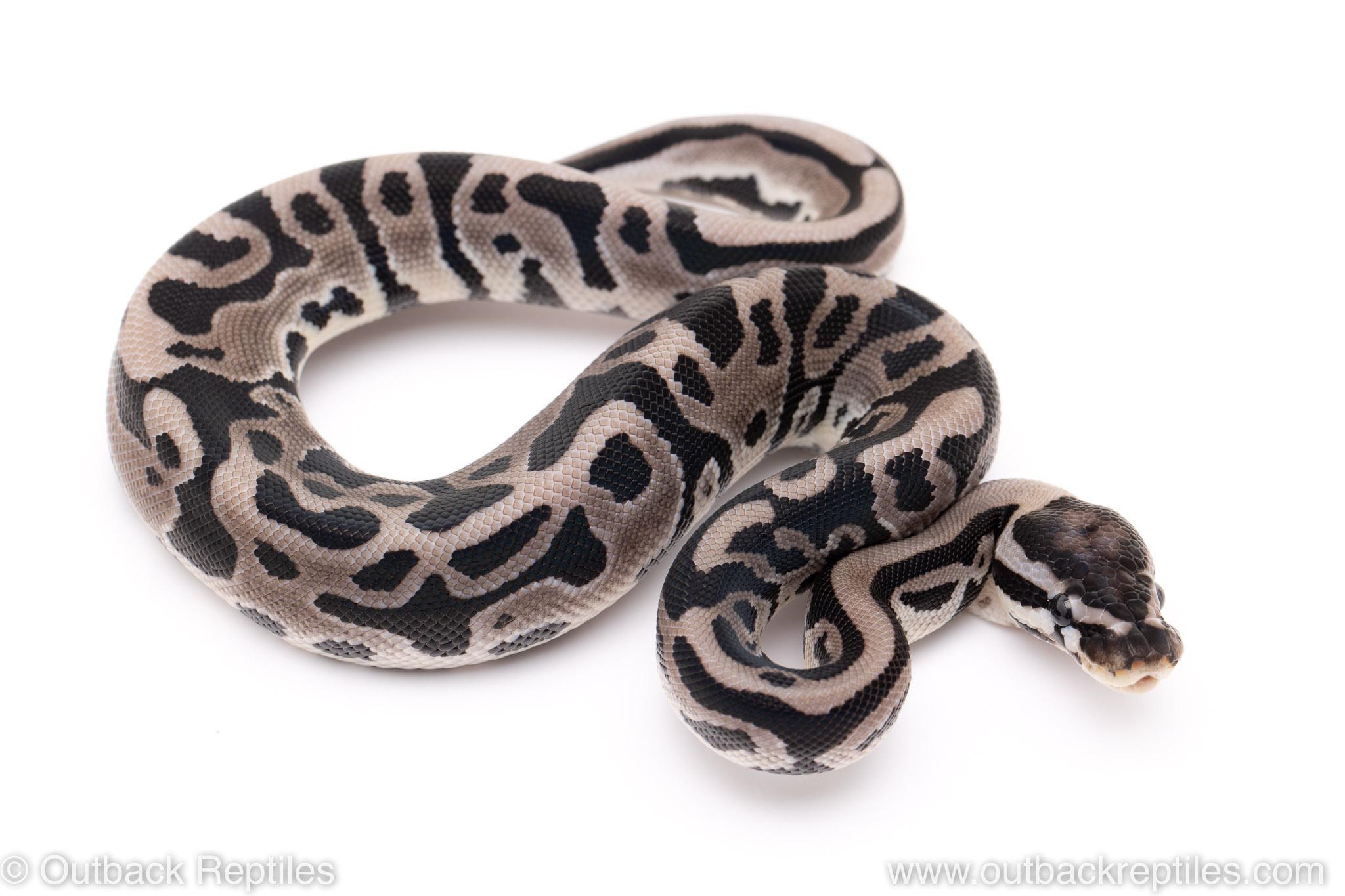 VPI Axanthic leopard poss het pied ball pythons for sale