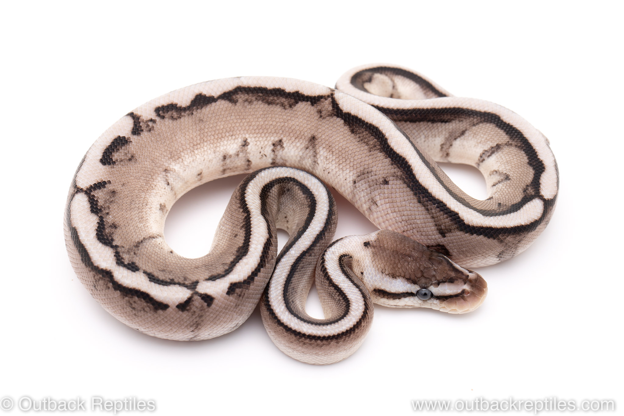 Pastel VPI Axanthic G-stripe ball python for sale