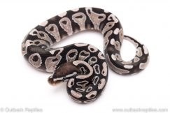 VPI Axanthic Yellowbelly ball python for sale