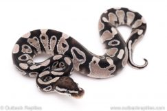 VPI Axanthic yellowbelly specter ball python for sale