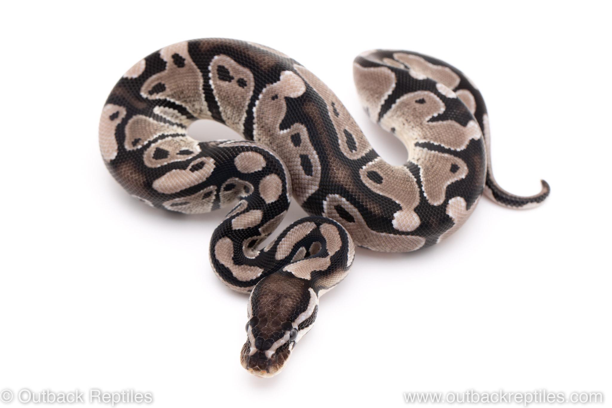 VPI Axanthic poss het pied ball pythons for sale
