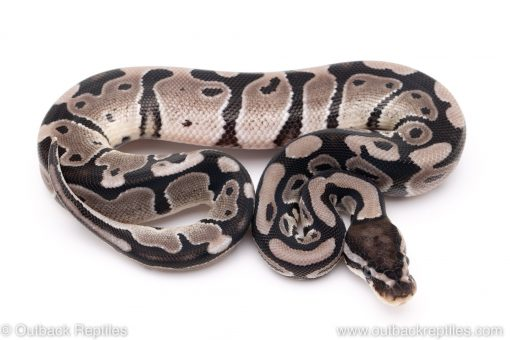 VPI Axanthic poss het pied ball pythons for sale