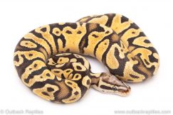 firefly scaleless head ball python for sale