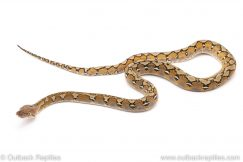 platinum reticulated python for sale