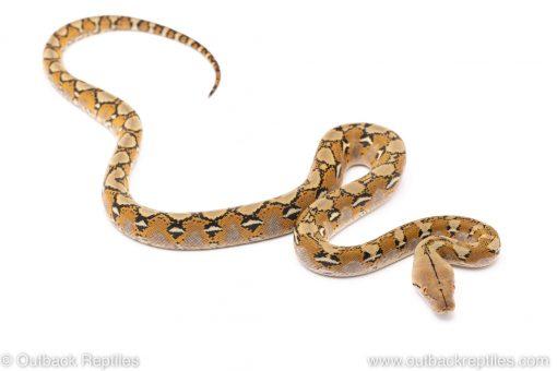 platinum reticulated python for sale
