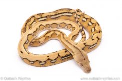 platinum tiger reticulated python for sale