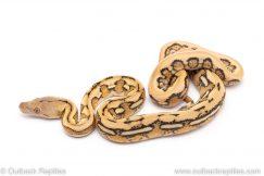 platinum tiger reticulated python for sale