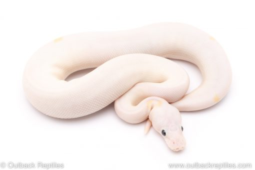 super fire enchi ball python for sale
