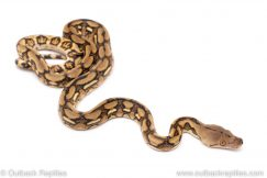 Tiger reticulated python for sale