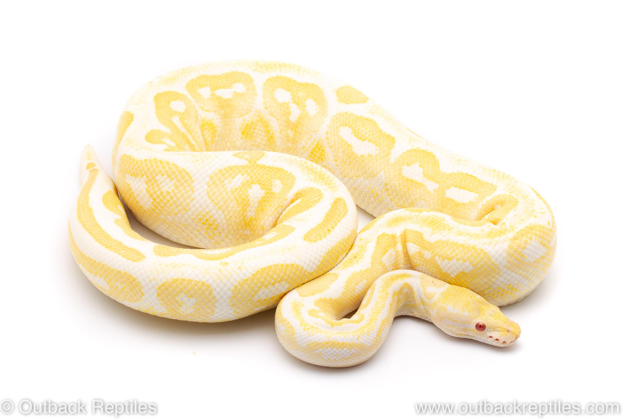 albino black pastel ball python for sale