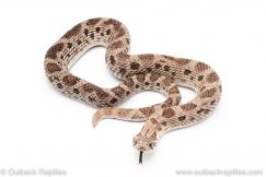 Anery axanthic anaconda hognose snake for sale