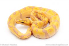 Banana super enchi ball python for sale