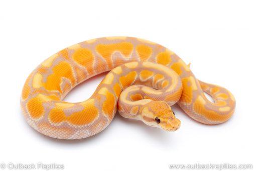 banana cinnamon enchi het clown ball python for sale