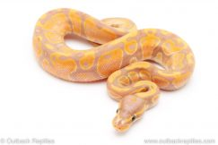 banana het pied ball python for sale