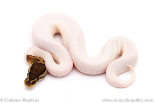 Black Pastel Pied ball python for sale