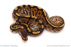 Black Pastel het Pied ball python for sale
