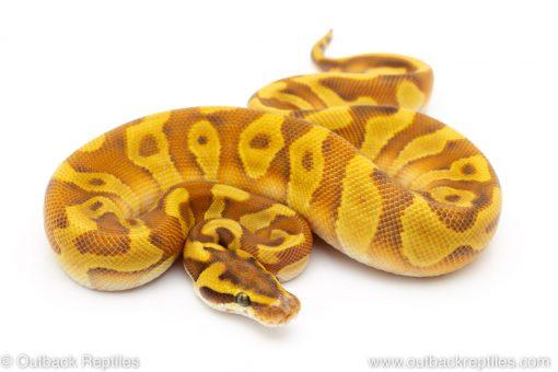 Butter Enchi leopard ball python for sale