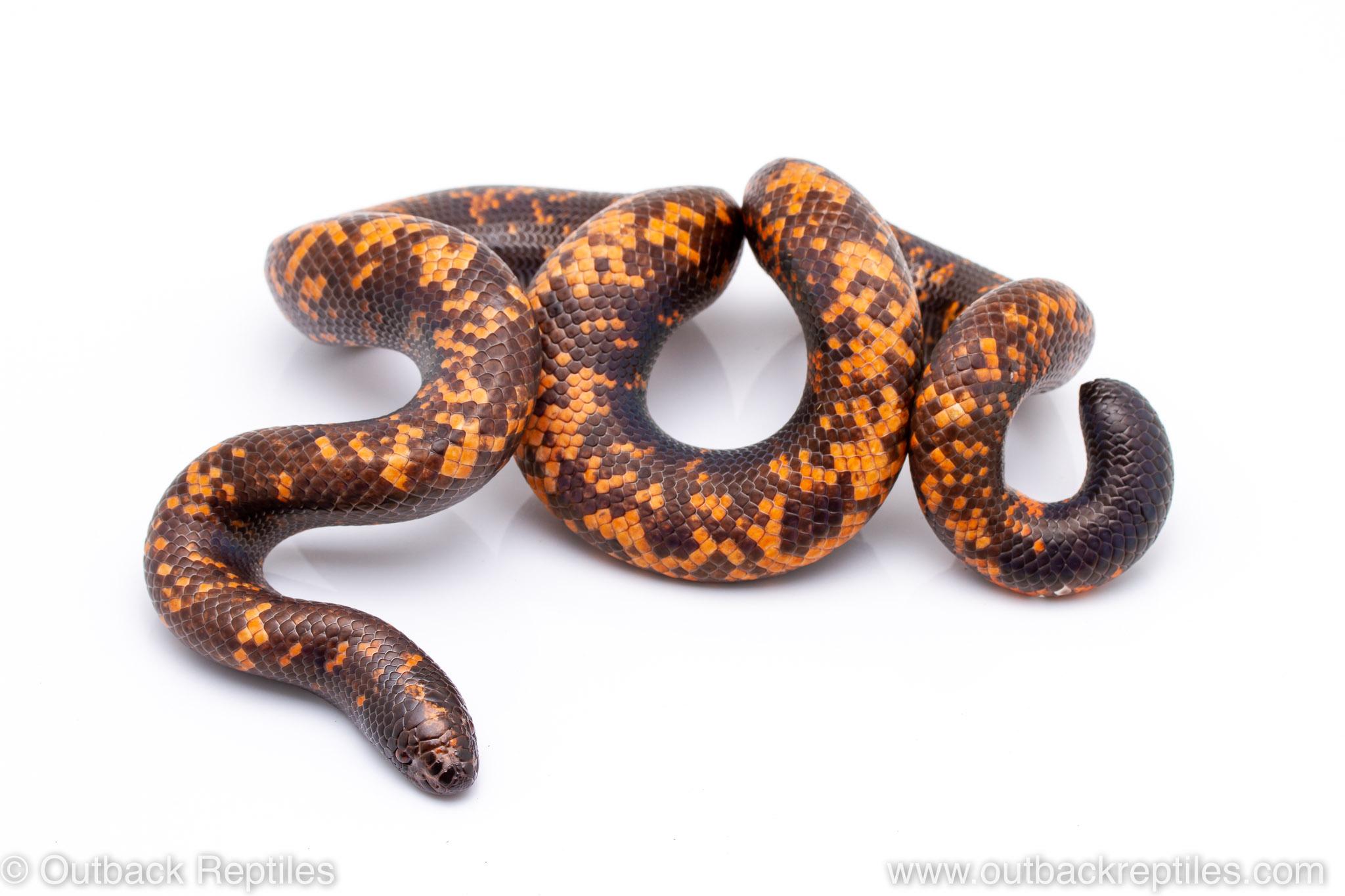 calabar python for sale