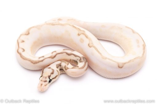 calico sable lesser bumblebee yellowbelly ball python for sale