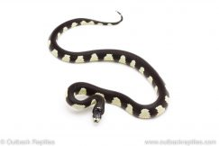 California Kingsnake for sale