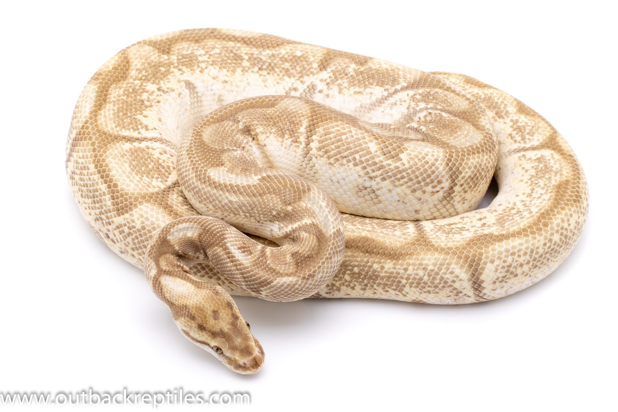 cinnamon lesser spider adult breeder ball python for sale
