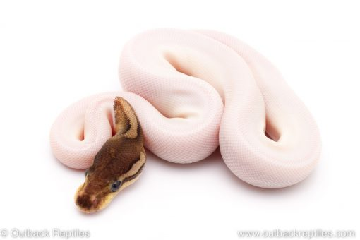 Cinnamon Pied ball python for sale