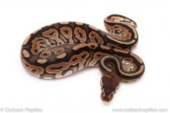 Cinnamon het pied ball python for sale