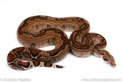 COlombian redtail boa for sale