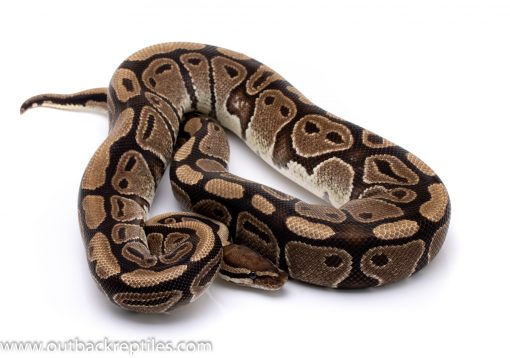 DH g-stripe axanthic ball python for sale