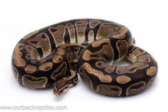 DH g-stripe axanthic ball python for sale