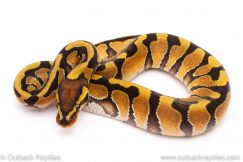 enchi dh ghost clown ball python for sale