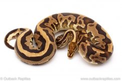 Fire Leopard het Pied ball pythons for sale