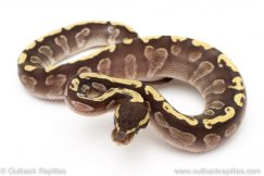 GHI Mojave Male ball python for sale