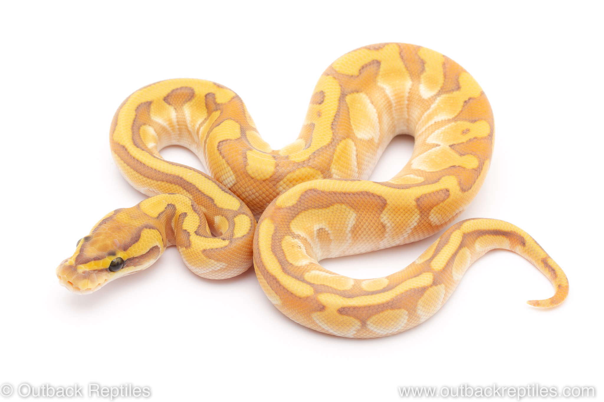 GHost enchi butter ball python for sale