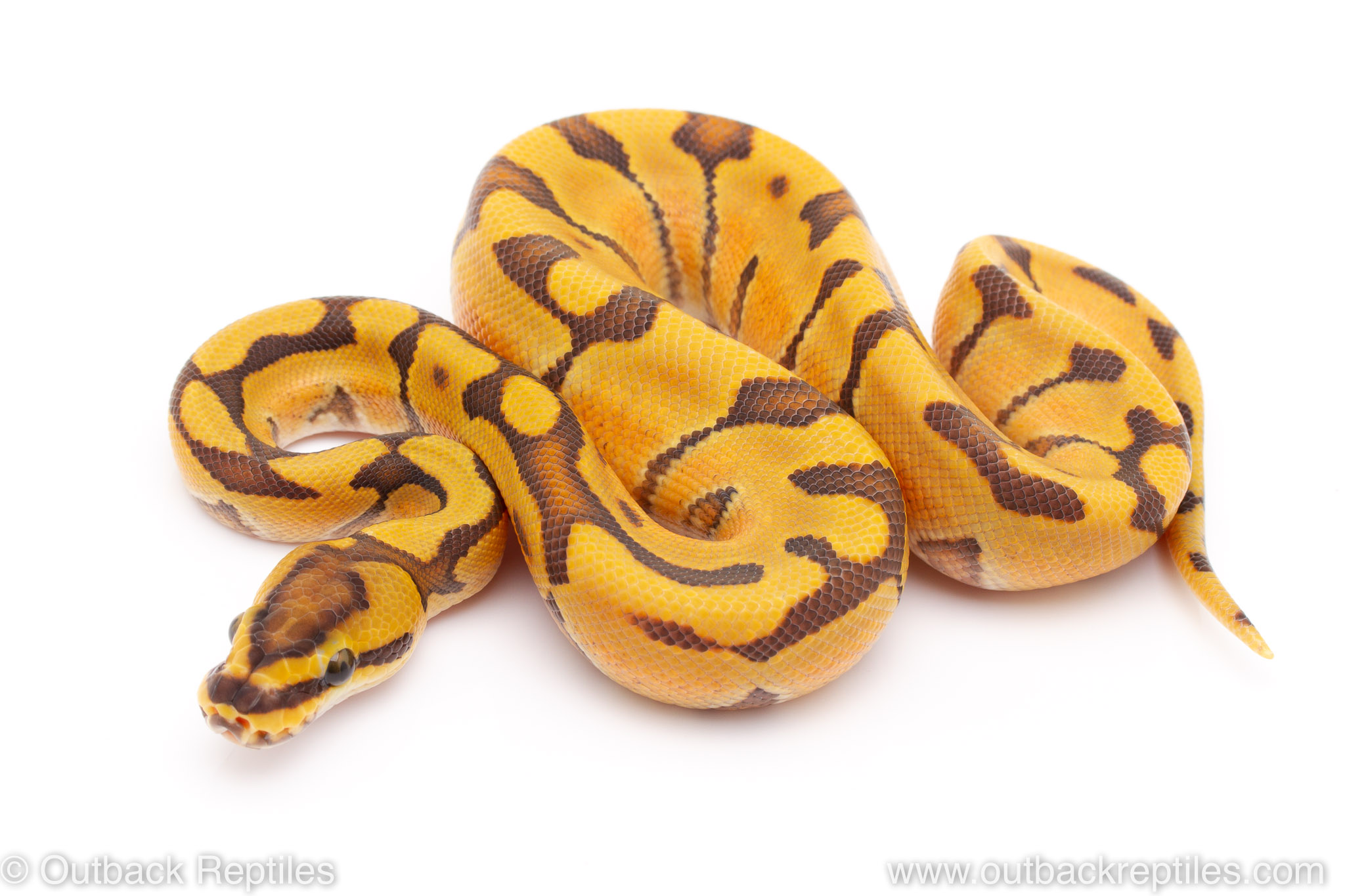 Ghost super enchi ball python for sale